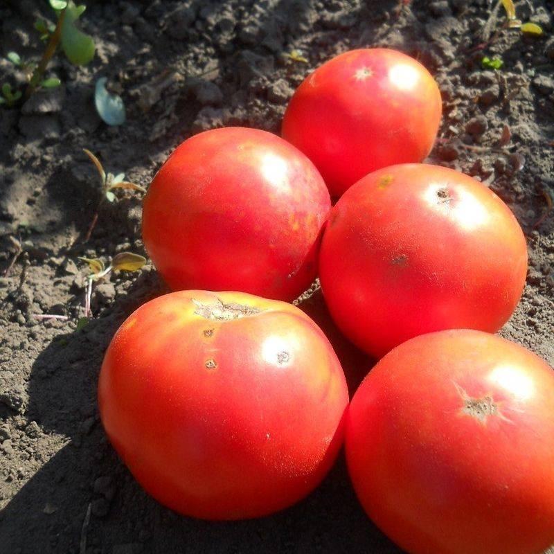 Особенности выращивания сорта помидоров «Каменный цветок»