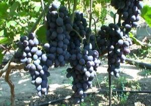 Сорт винограда с выдающимися качествами — «гала»