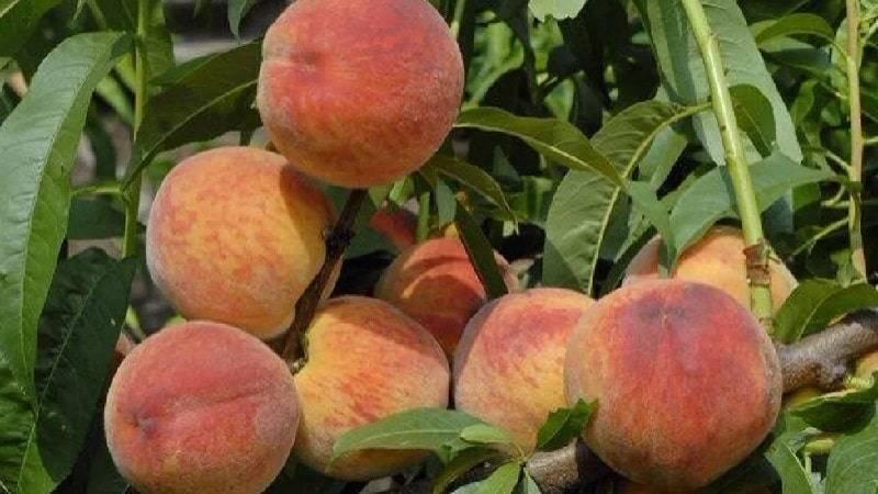 Нектарины вырастить в подмосковье. сорта персика, растущие в подмосковье   дачная жизнь