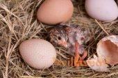 Сколько дней высиживает яйца цесарка: почему могут быть проблемы