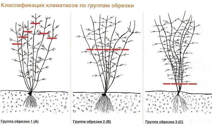 Когда обрезать клематисы осенью - пошаговые советы для каждой группы обрезки клематисов. | красивый дом и сад