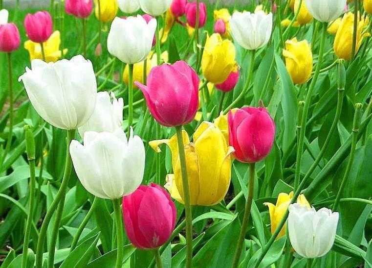 Когда выкапывать тюльпаны и нарциссы после цветения