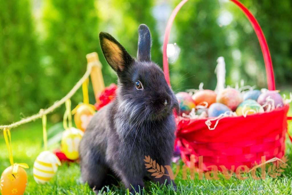 Венский голубой кролик, особенности породы
