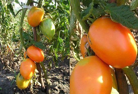 Томат кенигсберг - описание, выращивание, отзывы с фото и видео