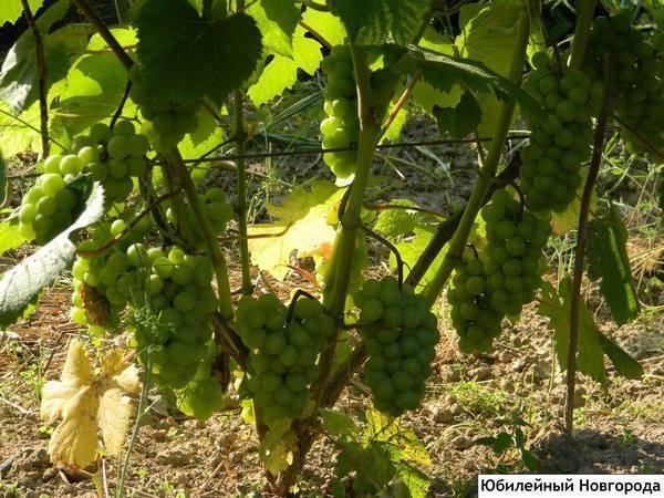 Лучшие сорта винограда для подмосковья (неукрывные, зимостойкие, скороспелые)