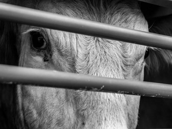 Забой теленка, коровы или бычка