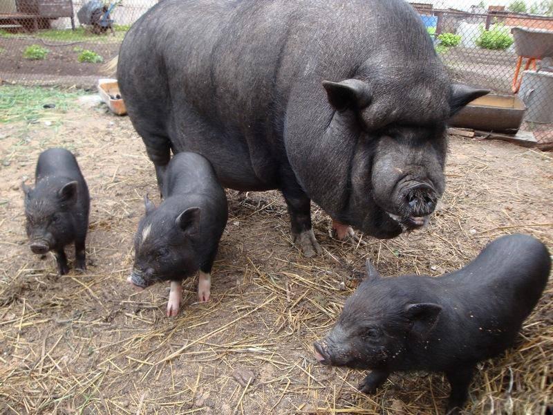 Разведение, уход и питание вьетнамских свиней и поросят в домашних условиях разведение, уход и питание вьетнамских свиней и поросят в домашних условиях