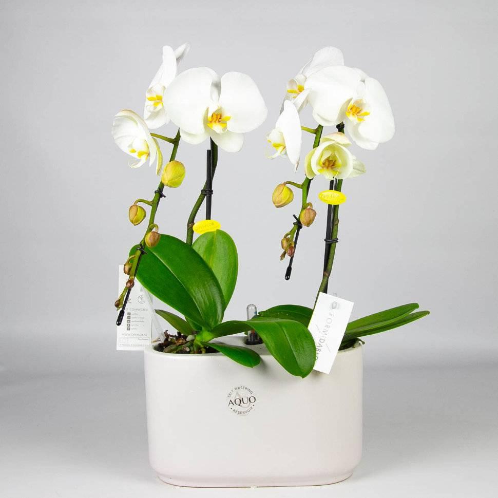 Разнообразие орхидей фаленопсис: история названия вида и описания сортов с фото