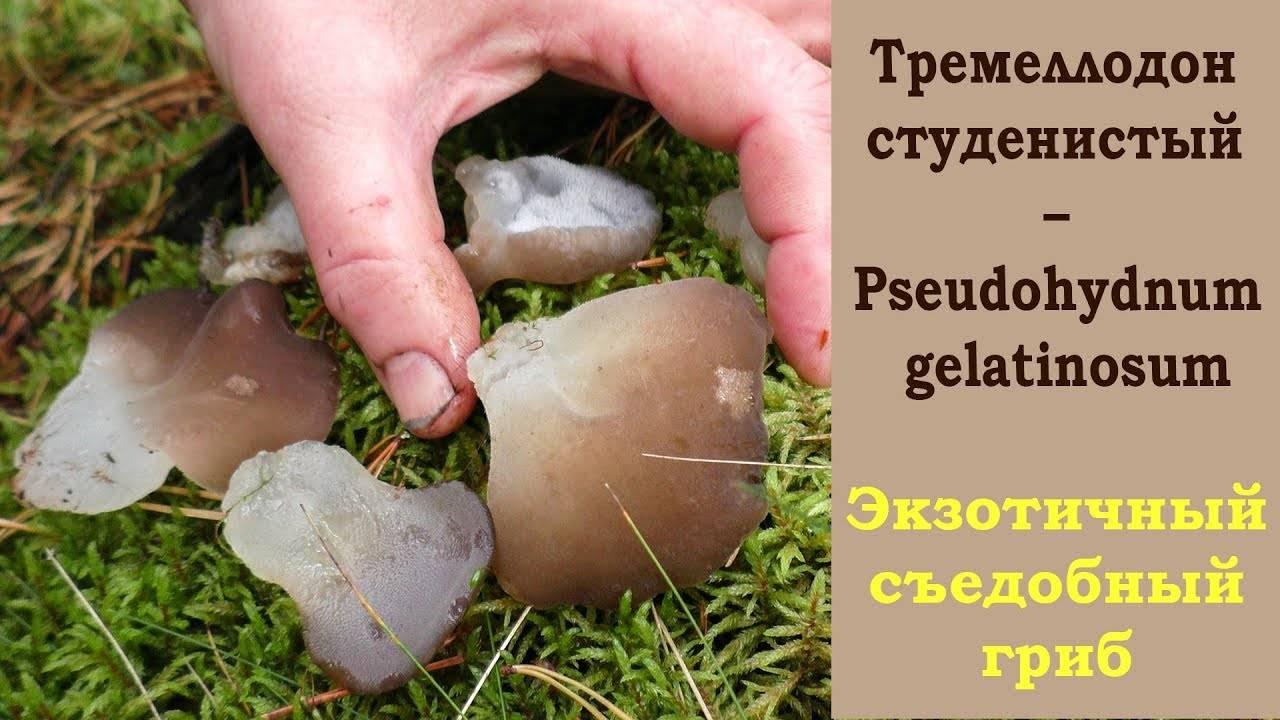 Ледяной гриб: что это,польза и вред