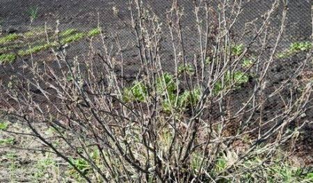 Обработка смородины после сбора урожая осенью от болезней и вредителей