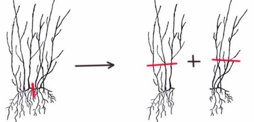 Правила размножения гортензии черенками