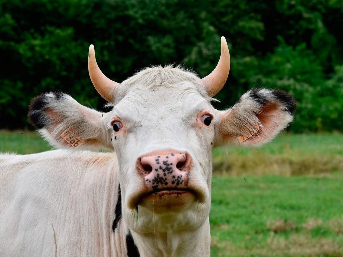 Обзор топ-6 самых опасных болезней коров
