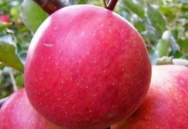 Малиновка — описание и отзвывы садоводов про сорт яблок