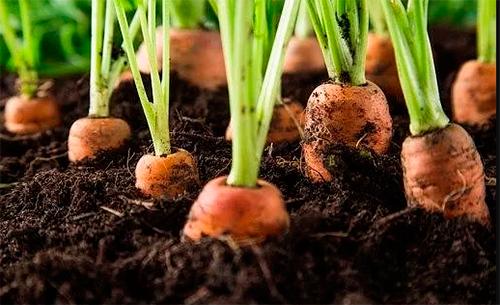 Чем подкормить морковь после всходов народными средствами - agroflora.ru