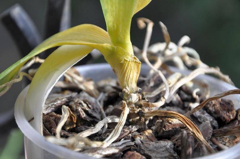 Реанимация орхидей без корней: как спасти орхидею, если у нее вялые листья? как нарастить корни в домашних условиях пошагово? как реанимировать в мини-тепличке?