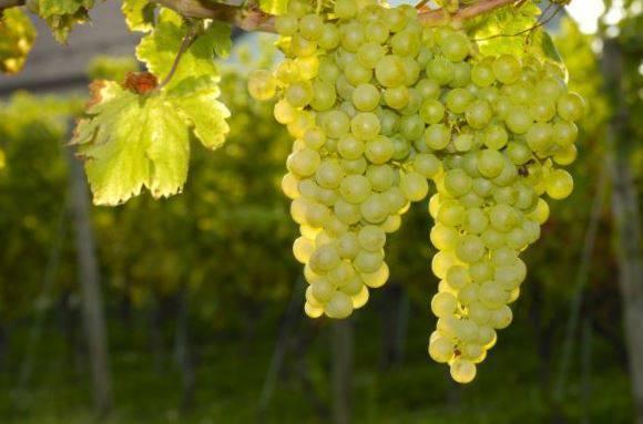 Виноград: зимостойкие сорта для виноделия на supersadovnik.ru