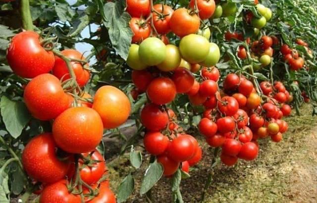Помидор настенька - описание сорта с фото, характеристика, урожайность отзывы кто сажал
