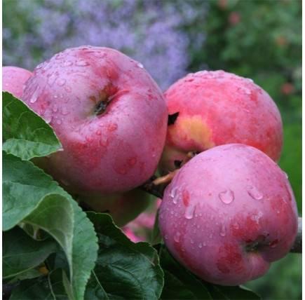 Неприхотливая яблоня подарок графскому: описание, фото