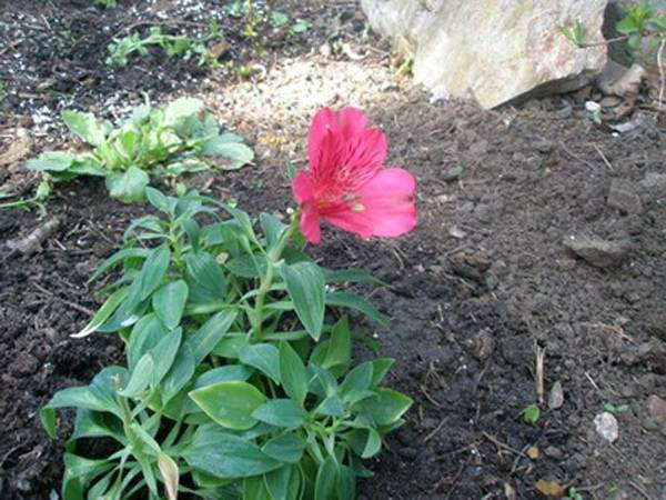 Альстромерия, фото цветка, посадка и уход, выращивание alstroemeria в открытом грунте из семян в теплице, значение цветка