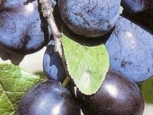 Слива чернослив описание сорта фото отзывы - дневник садовода gossort68.su
