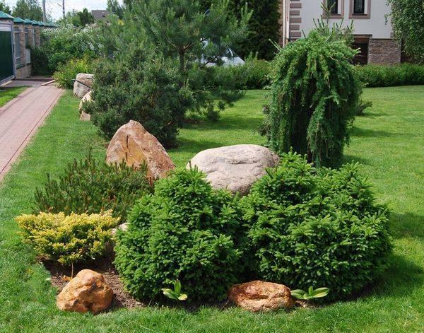 Хвойные растения: описание, виды, популярные сорта