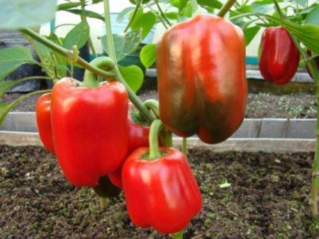 Перец золотое чудо: описание характеристик и советы по выращиванию