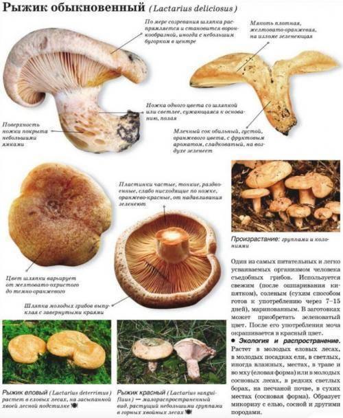 Ядовитый гриб тонкая свинушка: фото и описание