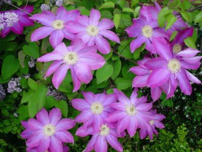 Клематисы на урале: выращивание мелкоцветковых сортов - мы дачники