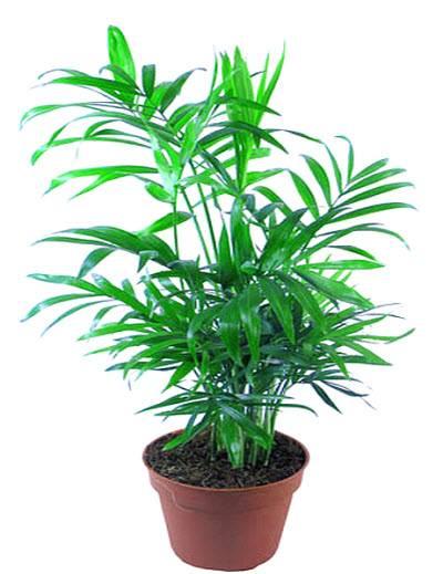 Правильный уход за пальмой Хамедорея в домашних условиях
