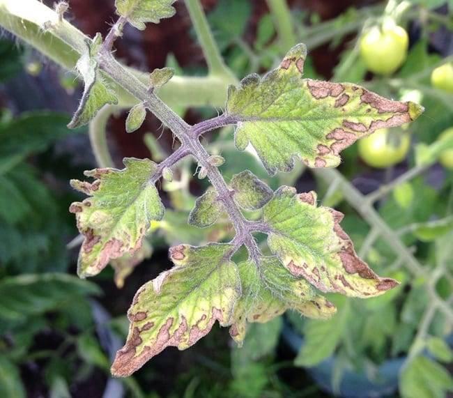 Почему у рассады помидор сохнут, желтеют и скручиваются листья: причины, что делать