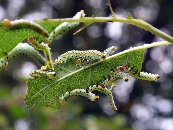 Чем обработать листья перца в дырочках: спасаем грядку от гусениц и других вредителей