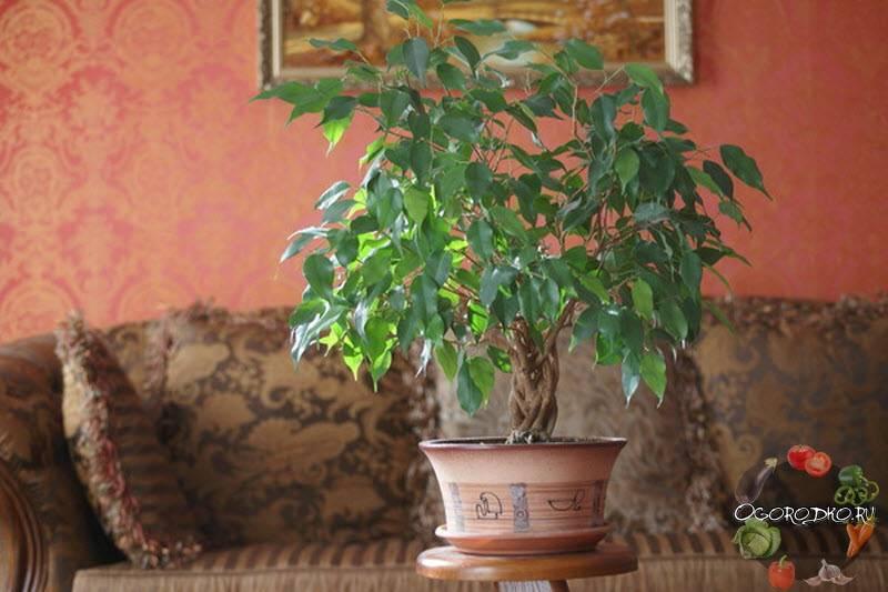 Фикус бенджамина «микс» (19 фото): уход за цветком в домашних условиях, особенности и советы садоводов