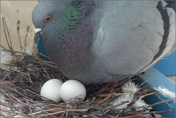 Мастерим гнездо для голубей самостоятельно