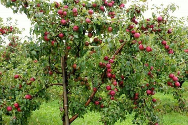 О яблоне подарок графскому: описание сорта, характеристики, агротехника, как выращивать