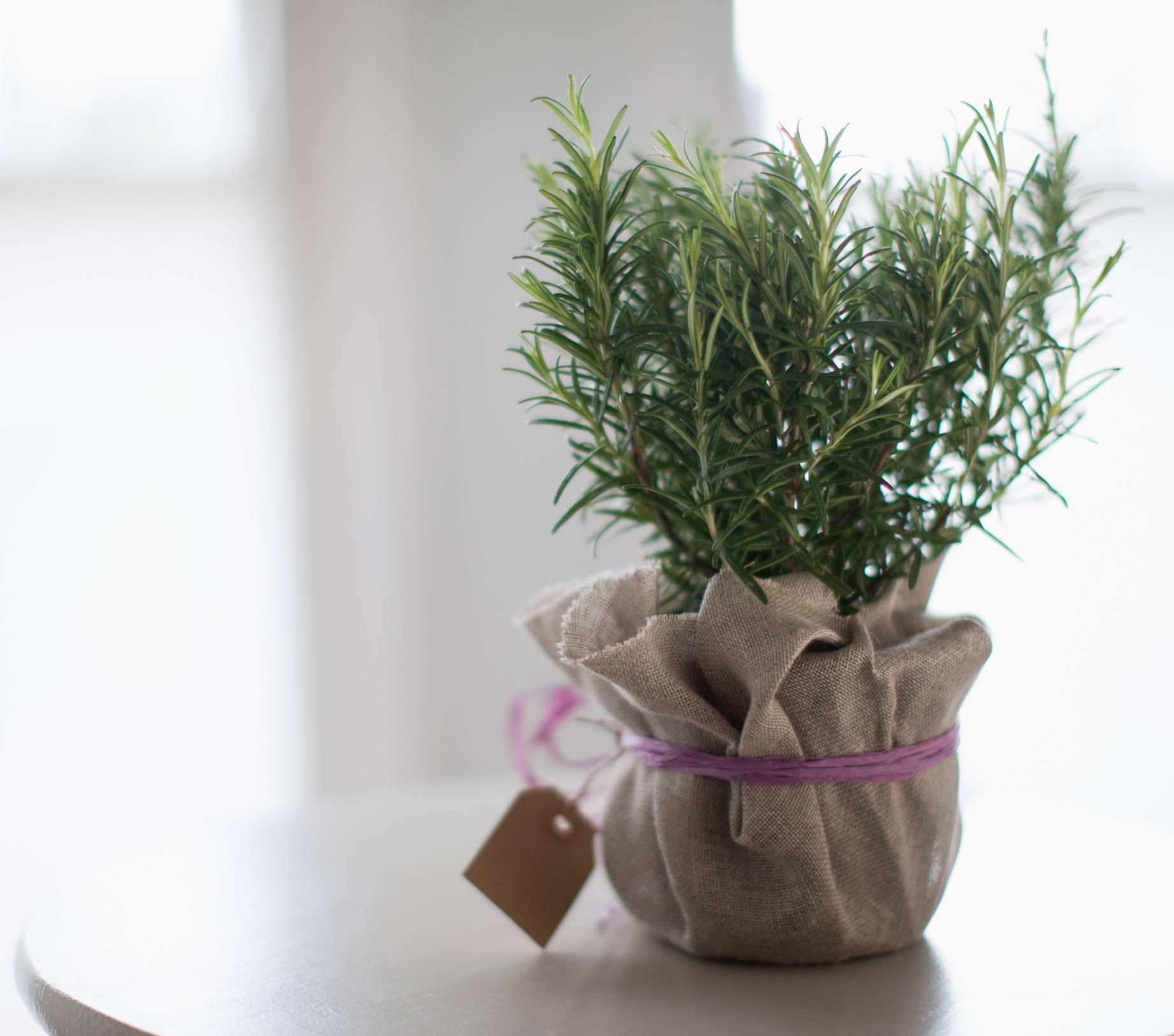 Как вырастить розмарин на подоконнике, посадка и уход в домашних условиях