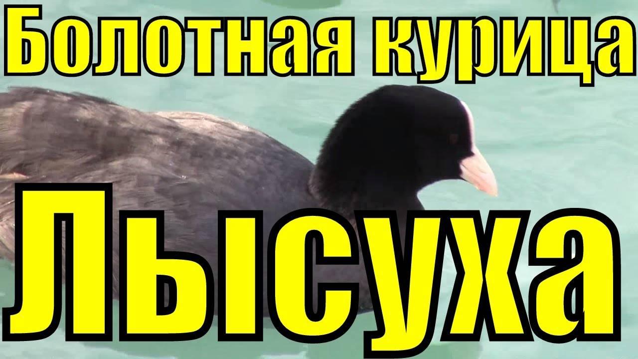 Хохлатые утки (15 фото): описание семеновских чубарых, русских и других пород уток с хохолком на голове