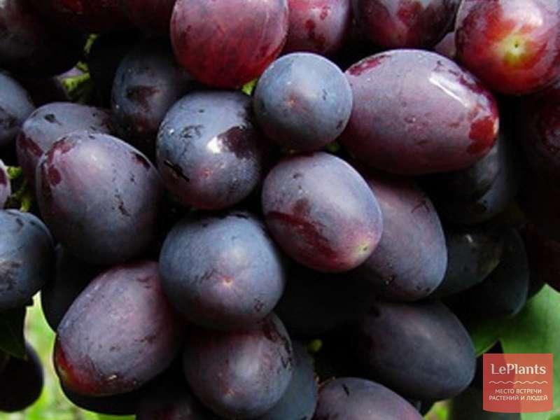 ᐉ кишмиш черный азос - виноград - roza-zanoza.ru