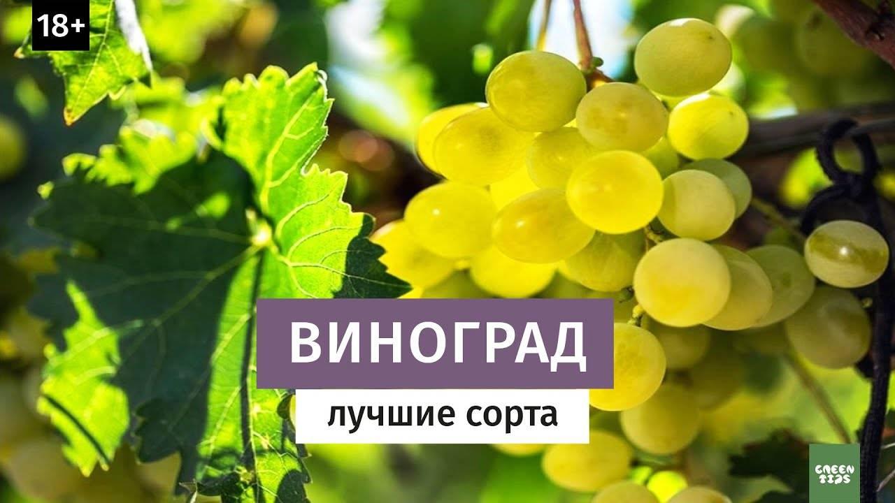 Сорт винограда триумф – сайт о винограде и вине