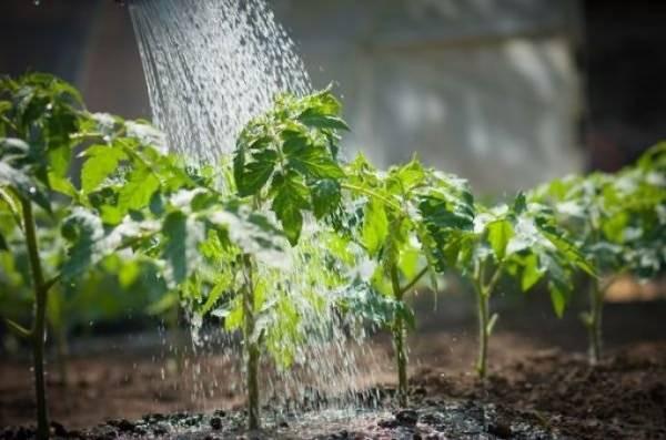 Как поливать рассаду помидоров – после всходов, пикировки на подоконнике, в открытом грунте