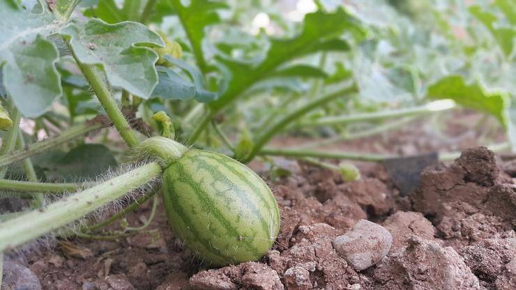 Выращивание арбузов в сибири - мир винограда - сайт для виноградарей и виноделов