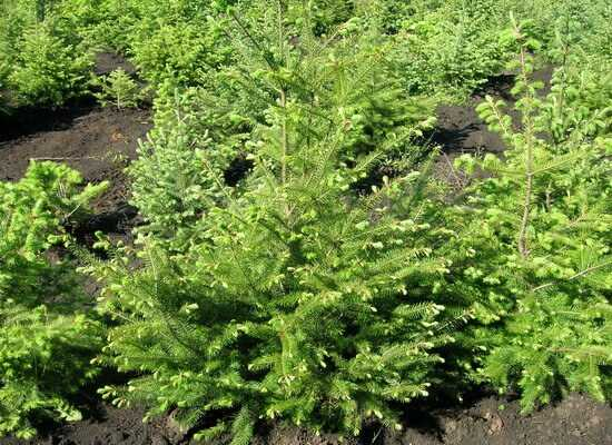Хвойные деревья в ландшафтном дизайне дачного участка (51 фото): названия, декоративные растения, кустарники, виды