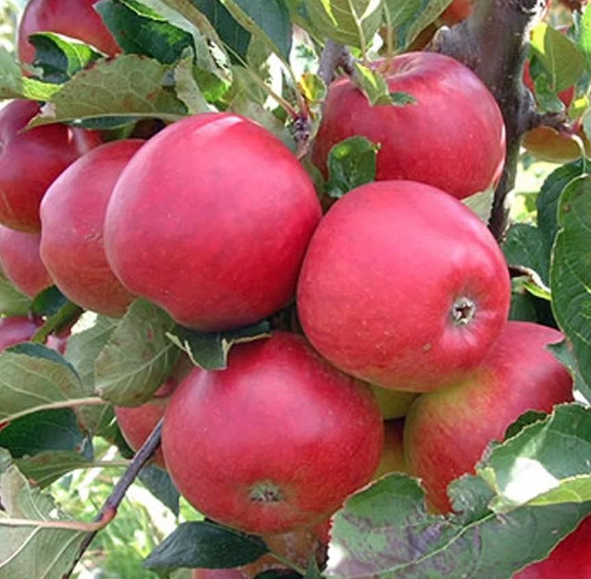 Яблоня баяна: особенности сорта и ухода