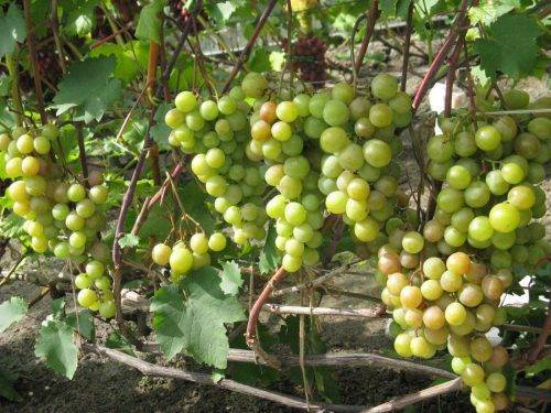 Винограда в сибири: выращивание, посадка и уход для начинающих