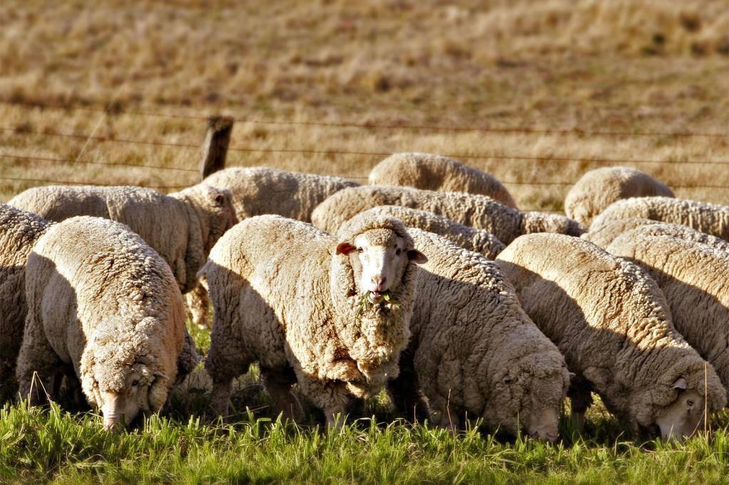 Цигайская порода овец: характеристика и описание