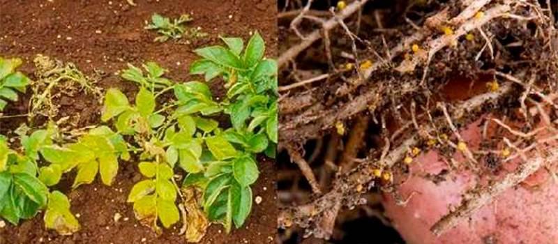 Нематода картофеля: виды, методы борьбы и профилактики