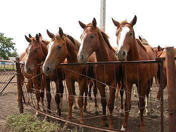 Буденновская лошадь: описание породы, характер, содержание