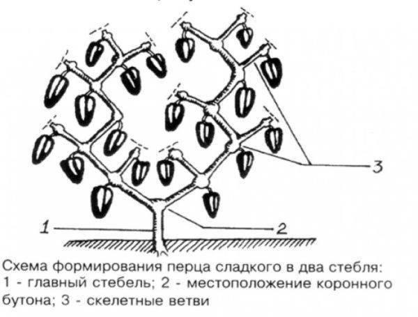 Формирование перцев в теплице из поликарбоната