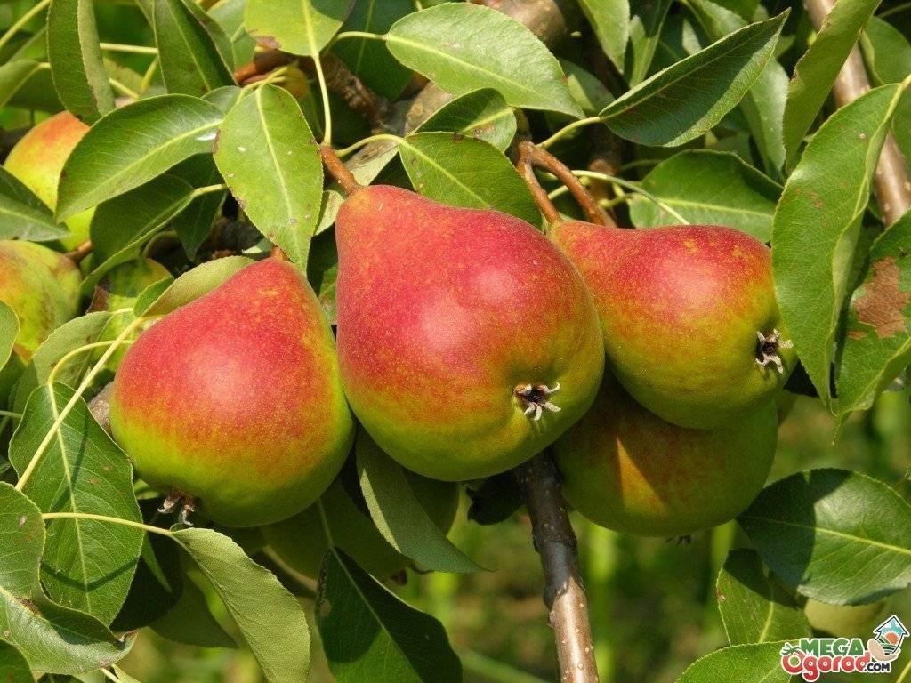 Почему не плодоносит груша причины. груша дает цвет, но не дает плодов | дачная жизнь