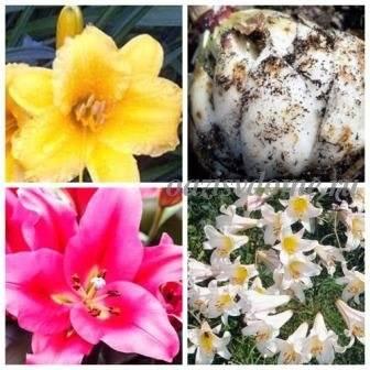 Когда и как сажать лилии осенью в открытый грунт - на какую глубину и в каком месяце