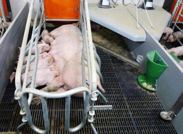 Станки для свиней: требования, изготовление клетки для опроса своими руками